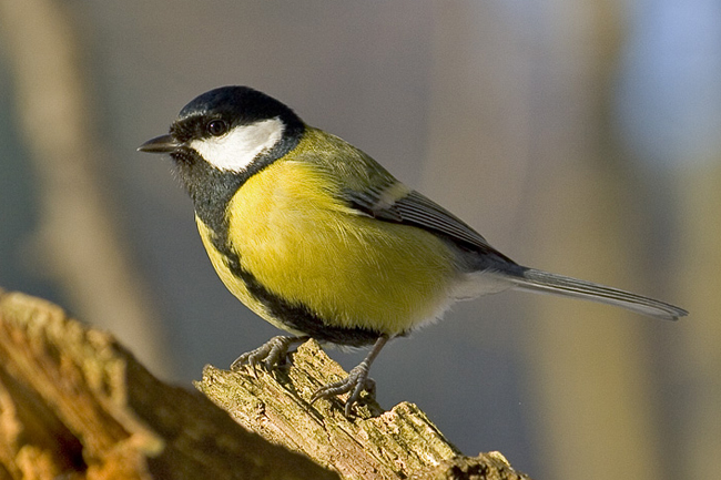 Koolmees_Parus major